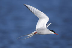 Free Arctic Tern, Sterna Paradisaea Stock Images - 9823414