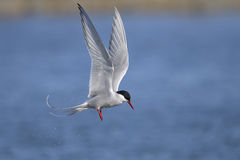Arctic tern, sterna paradisaea. Closeup portrait Stock Image