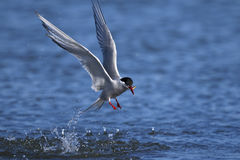 Arctic tern, sterna paradisaea Stock Photo
