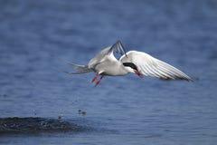 Arctic tern, sterna paradisaea Stock Photos