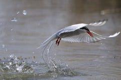Arctic tern, sterna paradisaea Stock Photography
