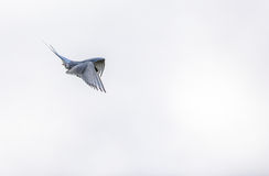 Arctic tern, Sterna Paradisaea, in the air on Svalbard Stock Photo