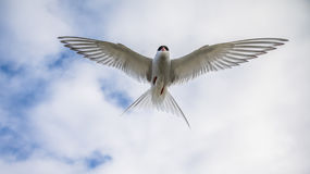 Arctic tern, Sterna Paradisaea, in the air on Svalbard Stock Photography