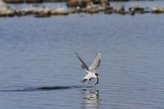 Arctic tern Sterna Paradisaea catching a fish mid-flight Royalty Free Stock Photo