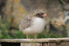 Arctic  Tern (Sterna paradisaea) chick Stock Photo