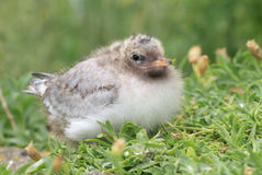 Arctic  Tern (Sterna paradisaea) chick Royalty Free Stock Photography