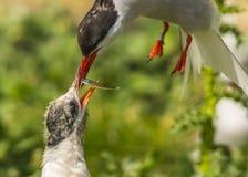 Arctic Tern / sterna paradisaea Stock Image