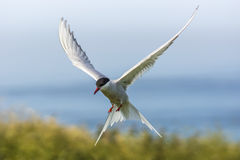 Arctic Tern / sterna paradisaea Royalty Free Stock Photos