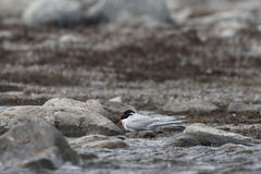 Arctic Tern  (Sterna paradisaea) grounded for the day Stock Photography