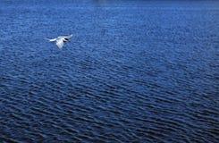 Arctic tern. Sterna paradisaea. Iceland Stock Photos