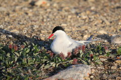 Arctic Tern  (Sterna paradisaea) on nest with hatchling nearby Stock Image