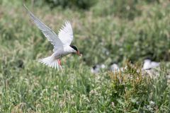 Arctic Tern in flight Royalty Free Stock Images
