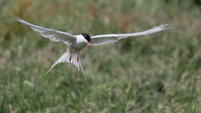Arctic Tern in flight Royalty Free Stock Photo