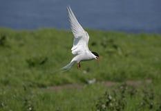 Arctic tern, Sterna paradisaea Stock Images