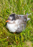 Arctic Tern (Sterna paradisaea) Stock Photo