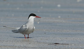 An Arctic Tern, Sterna paradisaea, standing on the beach. Stock Photography