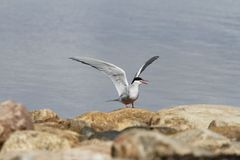 Arctic tern Sterna Paradisaea tentatively sitting on a rock with wings outstretched. Arviat Nunavut stock image