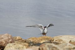 Arctic tern Sterna Paradisaea tentatively sitting on a rock with wings outstretched. Arviat Nunavut royalty free stock photography
