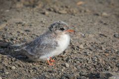 Arctic Tern, Sterna paradisaea, young chick sitting on gravel. Spitsbergen, Svalbard stock images
