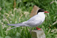 Arctic Tern (sterna paradisea). Breeds in colonies or singly along coasts and on islands in sea-bays Royalty Free Stock Photo