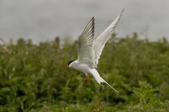 Arctic Tern Sterna Paradisea Farne royalty free stock photo