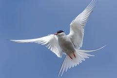 Arctic tern, Westfjords, Iceland stock image