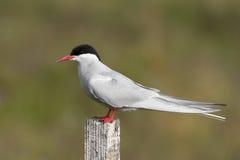 Arctic tern on wooden post Stock Photos