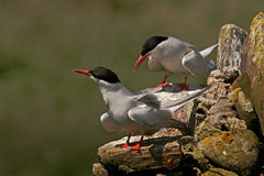 Arctic Terns Royalty Free Stock Image