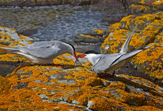 Arctic Terns. A male Arctic Tern passes his catch to a female, on the Farne Islands in Northumberland, England Royalty Free Stock Photos