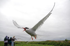 Arctic Terns Royalty Free Stock Images