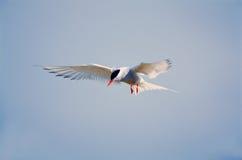 Free Arctic Terns Royalty Free Stock Image - 4888556