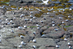Arctic terns, Farne Islands Nature Reserve, England Royalty Free Stock Photo
