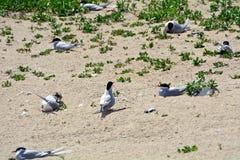 Arctic terns, Farne Islands Nature Reserve, England Stock Photos