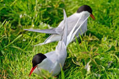 Arctic terns, Farne Islands Nature Reserve, England Royalty Free Stock Image