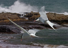 Arctic Terns in flight. Arctic Terns fly allong the Northumberland coast, where they spend their Summer in England Stock Photo