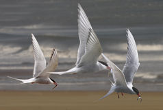 Arctic Terns fly home Royalty Free Stock Image