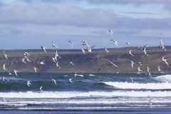 Arctic terns flying over the beach royalty free stock image