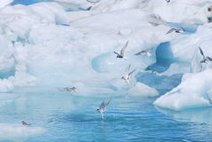 Arctic terns in glacier lagoon Stock Photography