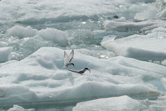 Arctic Terns on Ice. Berg in a glacial lagoon in Iceland Stock Photo