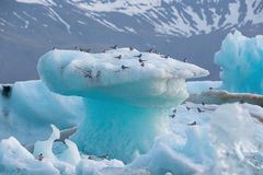 Arctic terns, Sterna paradisaea, resting on iceberg at Jokulsarlon glacier lake in Iceland