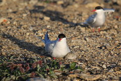 Arctic Terns (Sterna paradisaea) with young chick Stock Photography