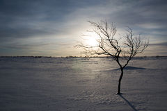Arctic tree. In finnish landscape in lapland Royalty Free Stock Images