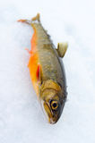 Arctic trout on the ice Royalty Free Stock Photos