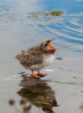 Arctic Turn Chick Stock Photo