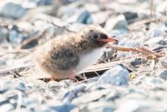 Arctic Turn Chick Stock Photos