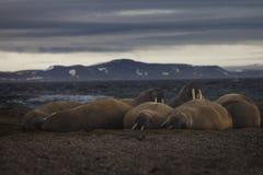 Arctic Tusks Royalty Free Stock Image