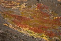 Arctic vegetation Royalty Free Stock Images