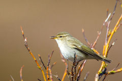 Arctic Warbler Royalty Free Stock Photo