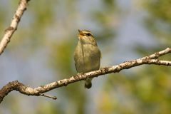 Arctic warbler (Phylloscopus borealis) Royalty Free Stock Photo