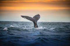 Arctic Whale iceland stock image